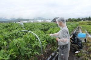 雨の中収穫