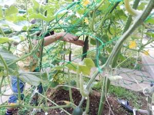 きゅうりを収穫する写真