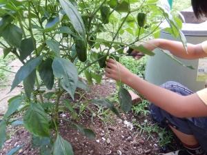 ピーマンを収穫する写真