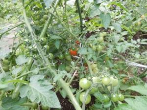 青いミニトマトの写真